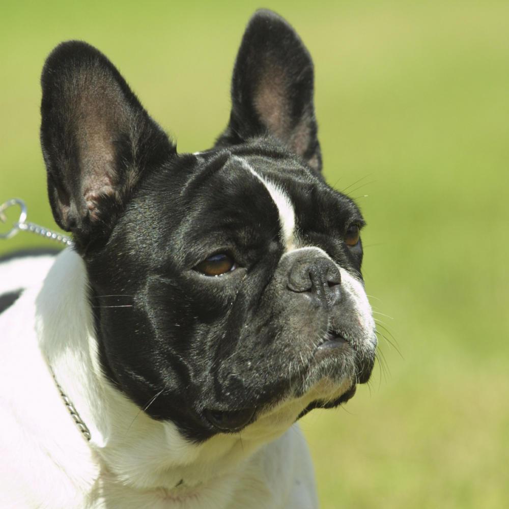 fransk bulldog pris