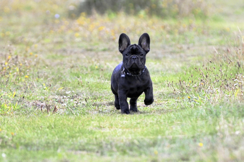 fransk bulldog kennel sjælland
