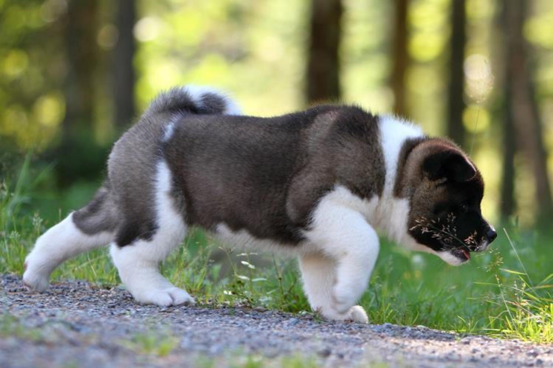 картинки собаки американская акита следуют клятве они