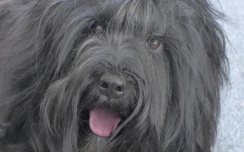 tibetansk terrier til salg