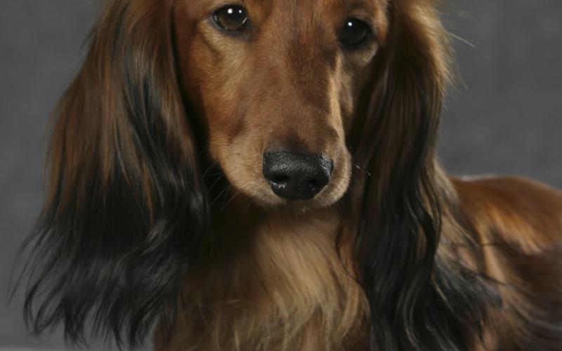 langhåret gravhunde hvalpe til salg
