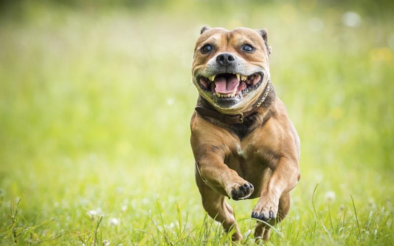 staffordshire bull terrier til salg