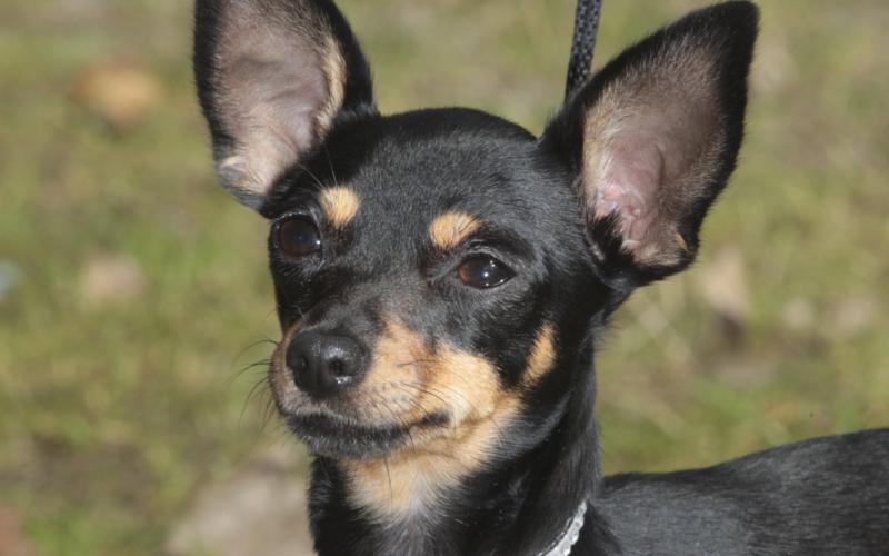 russisk toy terrier langhåret