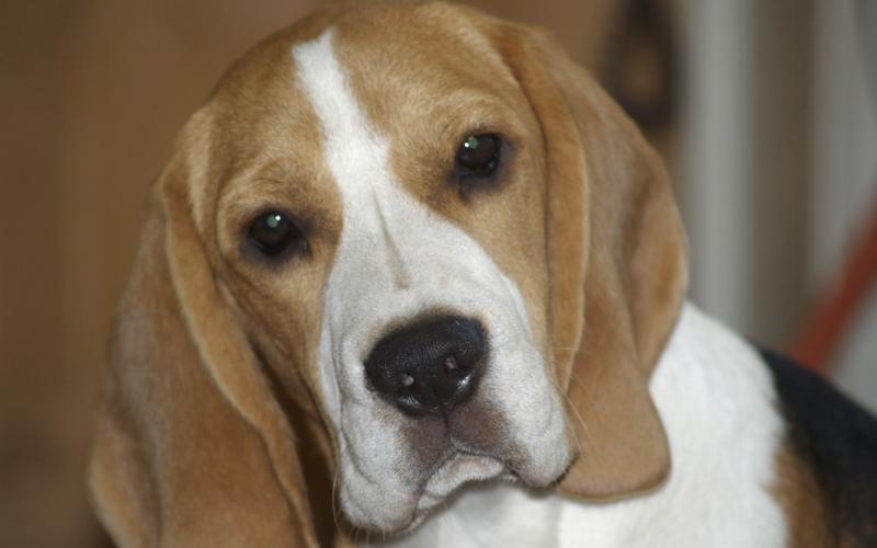 Beagle Vermittlung