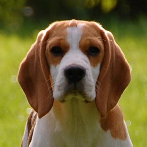 beagle hvalpe til salg